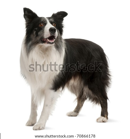 Border Collie standing in front of white background - stock photo