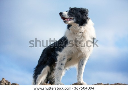 Border Collie standing on a hill looking to the left - stock photo