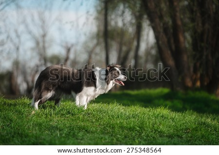 Border Collie standing on the grass - stock photo
