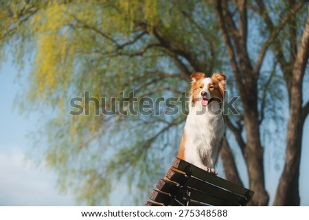 Border Collie standing paws on the bench - stock photo
