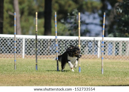 Border collie, star agility competition - stock photo