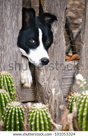 Border Collie sticking head through old wood fence with cactus - stock photo