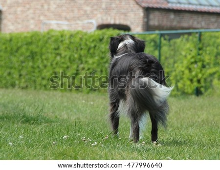 Border Collie wagging his tail to owner