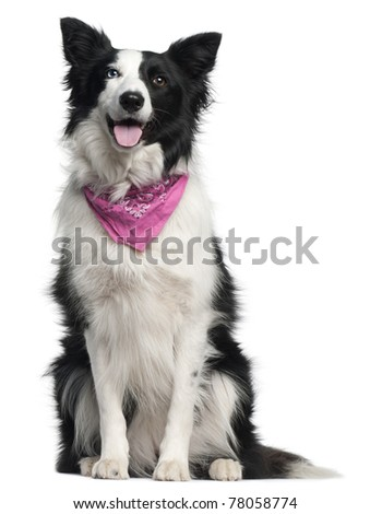 Border Collie wearing pink handkerchief, 2 years old, sitting in front of white background - stock photo