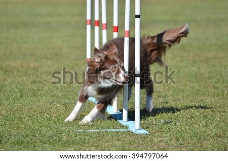 Border Collie Weaving Through Poles at a Dog Agility Trial - stock photo