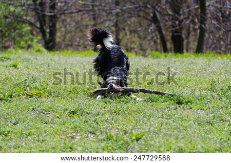 border collie while taking a stick on a lawn - stock photo