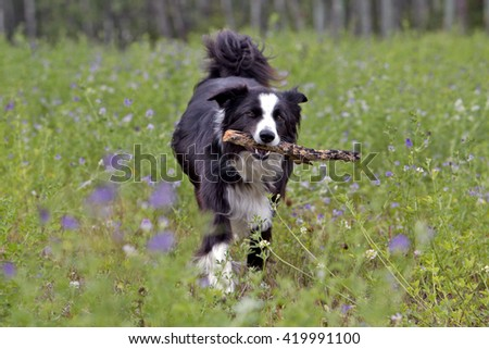 Border Collie with stick running in meadow of pink flowers