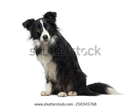 Border Collie (2 years old) - stock photo