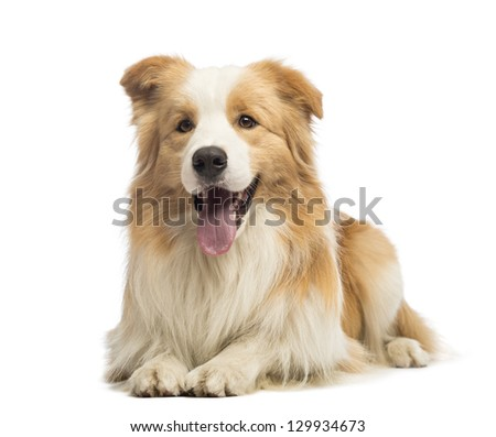Border Collie, 1.5 years old, lying and panting in front of white background