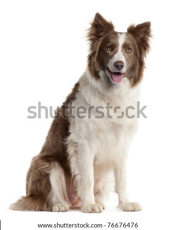Border Collie, 2 years old, sitting in front of white background - stock photo