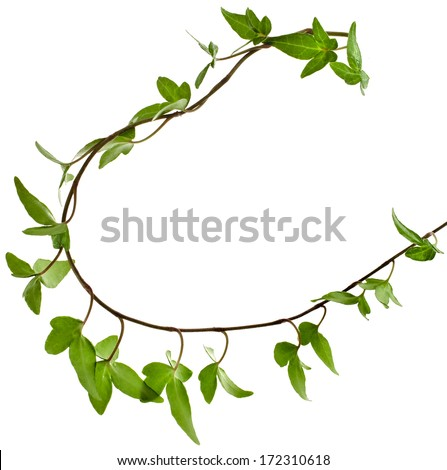 Border Frame made of Green climbing plant,  isolated on white background  - stock photo