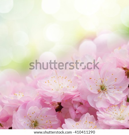 Border of blossoming pink sacura cherry  tree branches in garden - stock photo