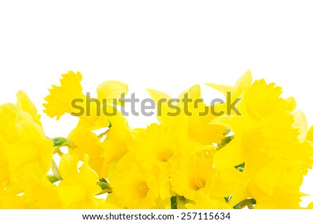 border of bright spring yellow daffodils close up isolated on white background - stock photo