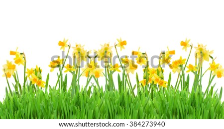 border of bright spring yellow daffodils  with grass on white background
