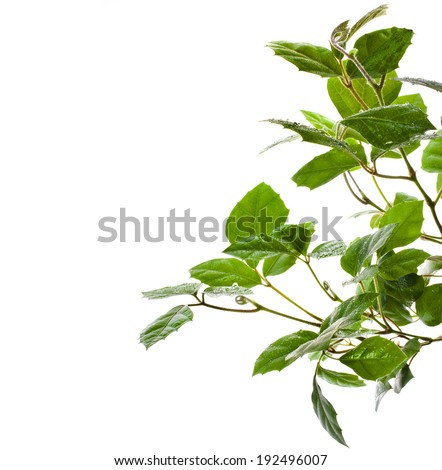 border of brunch of grassy green indoor plant cissus . isolated on white background