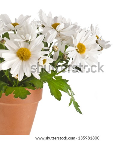 border of chrysanthemum flower daisy in a brown pot isolated on a white background - stock photo