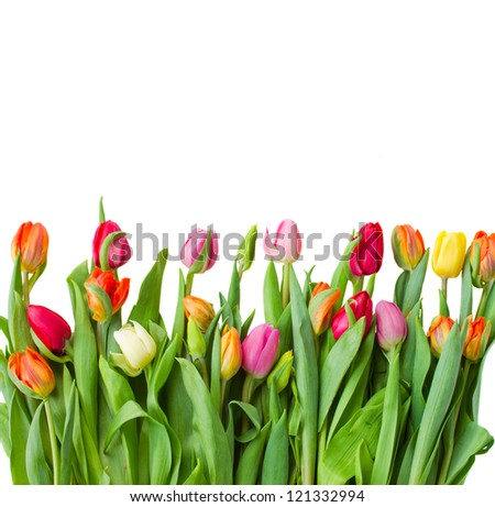 border of fresh   tulips isolated on white background - stock photo