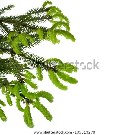 border of green tree branch with young shoots of pine isolated on white - stock photo