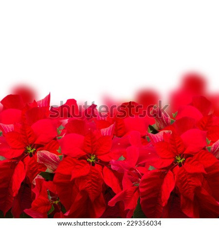 border of scarlet poinsettia flower or christmas star  on a white background