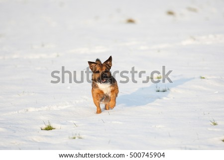 border terrier cross running in snow