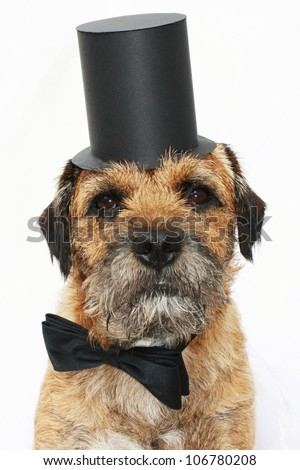 Border Terrier dog with top hat - stock photo