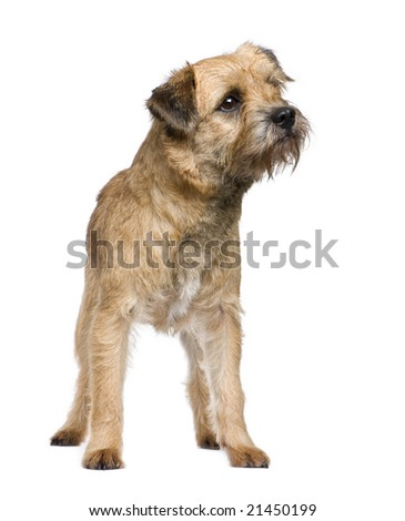 Border terrier in front of a white background