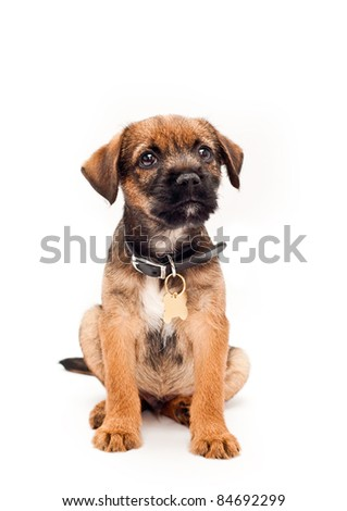 Border terrier puppy with collar tag