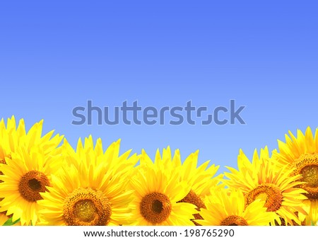 Border with many yellow sunflowers
