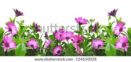 border with violet african daisy (Dimorphoteca, Osteospermum) flower