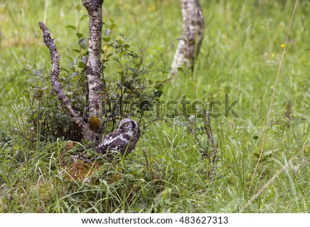 Boreal owl (Aegolius funereus) on mossy stone in grass, with a birch tree behind it. Photographed in Norway.