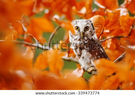 Boreal owl among orange beech leaves