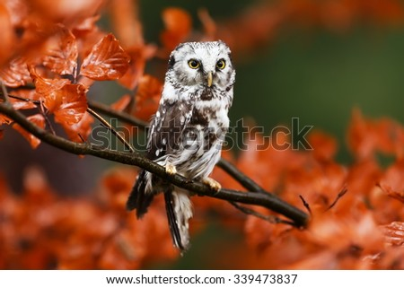 Boreal owl close up
