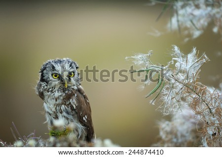 Boreal owl with fuzz down on straw - stock photo
