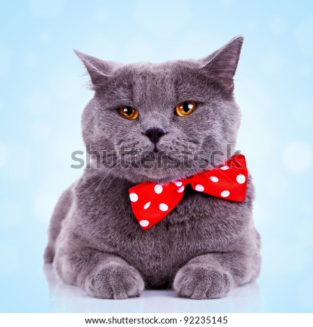 bored big english cat with red bibbon at its neck on blue background - stock photo