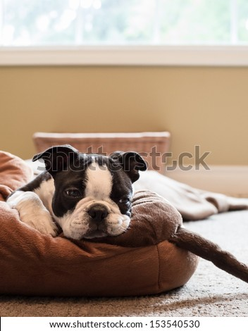 Bored Boston Terrier Puppy - stock photo