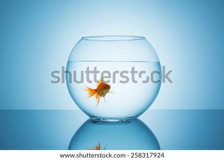 boring goldfish in a fishbowl glass - stock photo