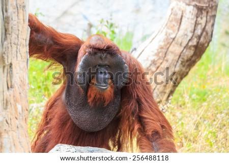 Bornean orangutan ( Pongo pygmaeus ) in Thailand ( Found it at Borneo island , Sumatra island in Indonesia ) - stock photo