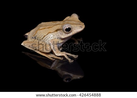 Borneo eared frog, or File-eared tree frog, or Bony-headed flying frog  (Polypedates otilophus) close-up isolated on black background with reflection - stock photo