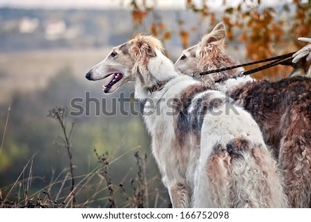 Borzoi dog portrait on dry grass background - stock photo