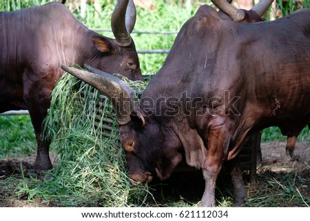 Bos Taurus also known as Ankole Cattle eating grass in a captivity inside a zoo. The horn of this ankole can reach up to 1.8m long.