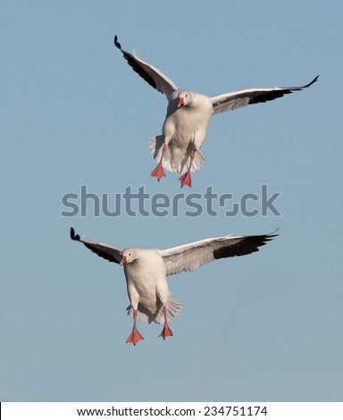 Bosque del Apache wildlife.  New Mexico.  National wildlife refuge.  Two snow geese landing. - stock photo