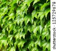 Boston ivy - stock photo