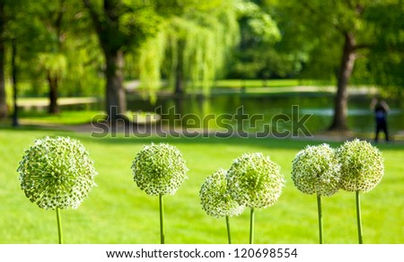 Boston Public Garden in the Spring with selective focus on a row of white Allium flowers in the foreground - stock photo