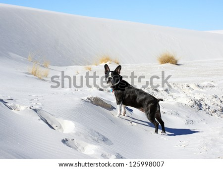 Boston Terrier attempts to climb the dunes at the White Sands National Monument