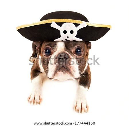 boston terrier dog dressed as a pirate for halloween - stock photo