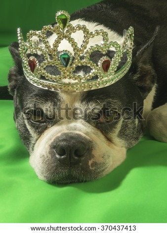 Boston Terrier dog earing a crown