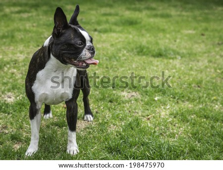Boston Terrier Dog Panting - stock photo