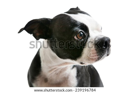 Boston Terrier dog sitting and looking to the side.