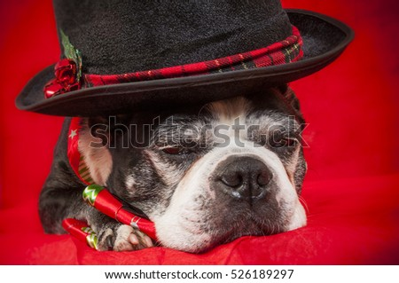 Boston terrier dog with christmas disguise in front of red backdrop
