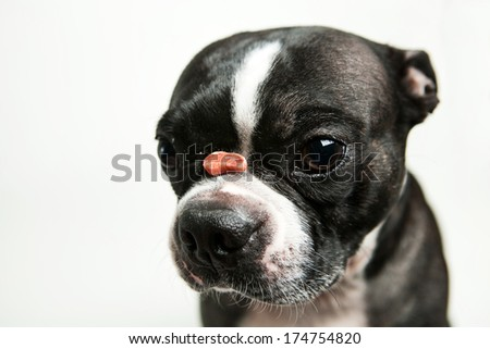 Boston terrier dog with treat on nose - stock photo